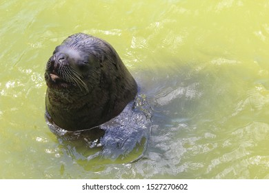 Sea wolf in the water