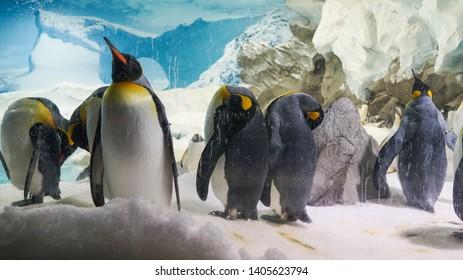 Sea world in Goldcoast - Jun 22, 2017; Penguin in Aquarium