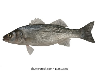 Sea-bass, Dicentrarchus labrax. Isolated on the white background