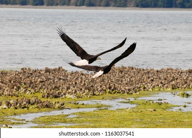 Seabeck, Washington / USA - June 30, 2010: Two bald eagles flying over oyster beds along the Hood Canal in Seabeck, Washington, June 30, 2010.