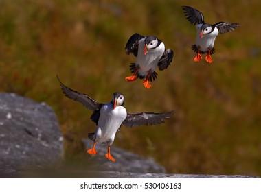Seabird from auk family, Fratercula arctica, Atlantic puffins landing on  a grassy cliff. Motion study.  Wildlife photo. Ireland.