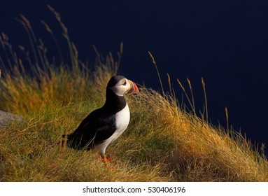 Seabird from auk family, Fratercula arctica, Atlantic puffin on on a grassy cliff lit by setting sun against  dark blue ocean in background. Wildlife photo. Ireland.