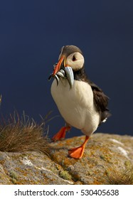 Seabird, Fratercula arctica, Atlantic puffin with small sandeels in its beak on rock against deep blue ocean.  Vertical, close up photo. Wild Atlantic Puffin with fish in bill. Norway.
