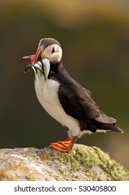 Seabird, Fratercula arctica, Atlantic puffin with small sandeels in its beak on rock against  blurred cliffs.  Vertical, close up photo. Wild Atlantic Puffin with fish in its beak. Ireland.
