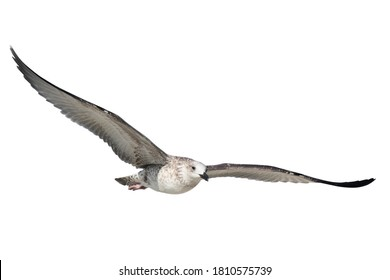 Seabird isolate on white background. Flight of a large seabird. The seagull (Larus marinus) has spread its large wings. Selective focus.