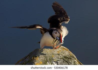 Seabird, landing Fratercula arctica, Atlantic puffin with small sandeels in its beak on rock against deep blue ocean. Close up photo. Wild Atlantic Puffin with fish in its beak. Norway.