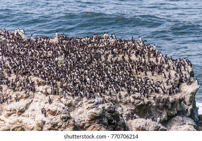 Seabirds, mostly common murres (Uria aalge), on Colony Rock at the Yaquina Head Outstanding Natural Area, Newport, Oregon.