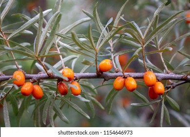 Seabuckthorn berries. In the farm garden is a green branch with ripe organic sea-buckthorn. Healthy Vitamin Food