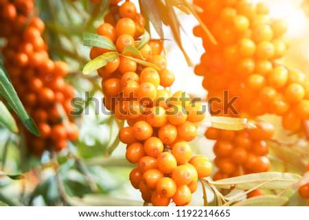 seabuckthorn-berries-tree-close-450w-119
