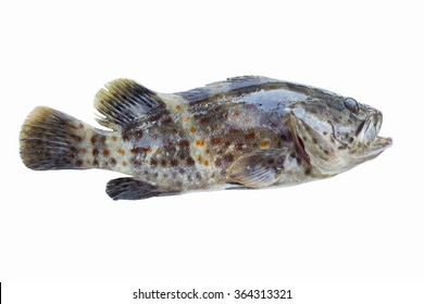 seafood,Grouper fish isolate on white background/Orange-spotted grouper,Estuary cod,Epinephelus coioides,