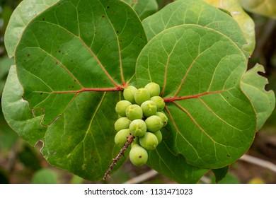 Seagrape (Coccoloba uvifera) fruit closeup, green - Topeekeegee Yugnee (TY) Park, Hollywood, Florida, USA