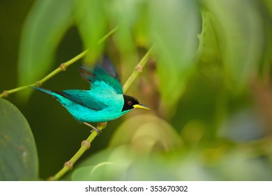 Sea-green glittering male Chlorophanes spiza  Green Honeycreeper with black head and yellow beak perched on twig among blurred leaves in rain forest of Trinidad.