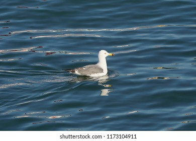 A seagul floating in the sea