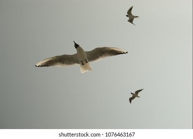 A Seagul over the Sea