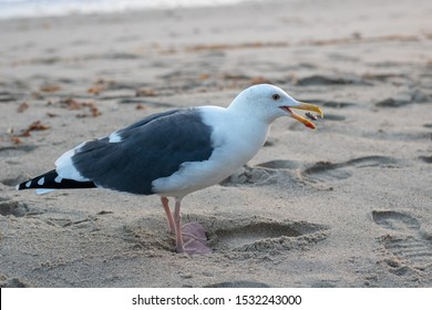 Seagull about to eat a snack.