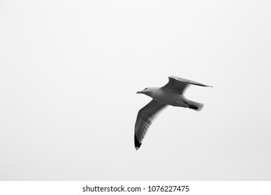 A seagull alone in the sky