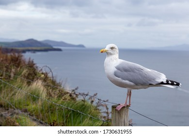 A Seagull Along the Wild Atlantic Way