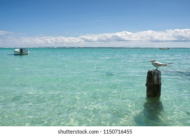 Seagull - Anse de Sainte Anne - Guadeloupe - Caribbean tropical island