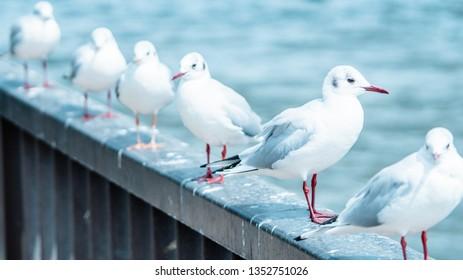Seagull in Asakusa