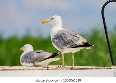 Seagull  at the Balaton