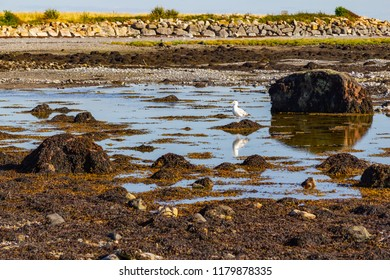 Seagull in Ballyloughane Beach with rocks and reflection