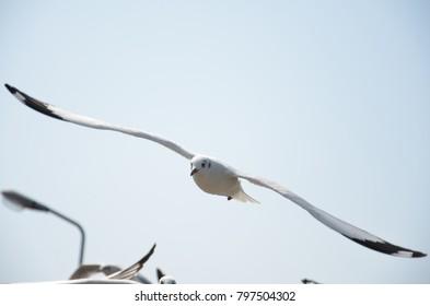 The seagull at Bangpu Recreation Center, Samut Prakan, Thailand.