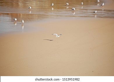 seagull in the beach of Sydney