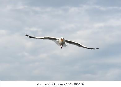 Seagull bird as close-up on sky