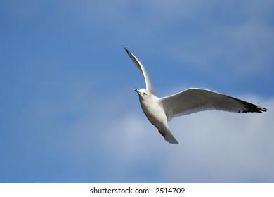Seagull Bird Fly