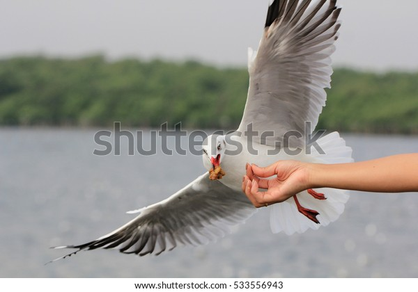 Seagull BIRD flying to eat food from woman feeding with food crushing split floating in the air around the hand and the beak. bird mouth.