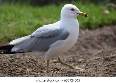 Seagull bird at Niagara fall