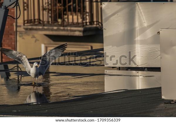 Seagull bird on roof of building during coronavirus confinement. Barcelona,Spain