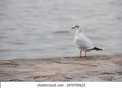 Seagull bird standing feet on sea beach. Close up view of white gray bird seagull sitting in sea rock beach. Wild seagull natural blue sea background. Seagull bird animal portrait sunlight mountain