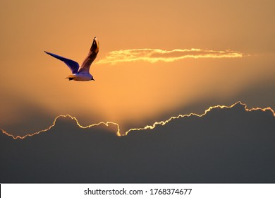 Seagull, black-headed gull, flying towards the setting sun. The clouds have a silver lining with a golden touch.
