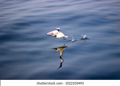 seagull in a blue sea and its reflection
