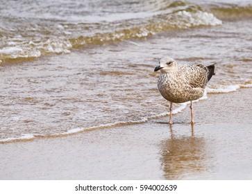 Seagull in the Breakwater.