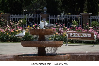 seagull by the fountain in the rose garden