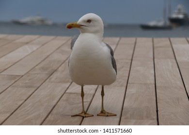 Seagull in Cannes, Provence, France