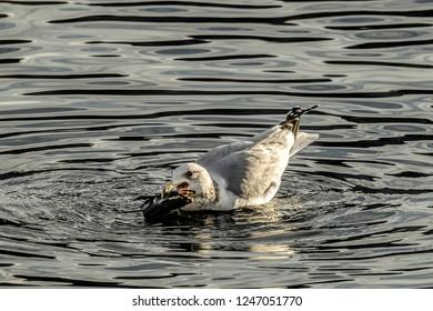 A seagull caught a fish in its beak in Coeur d'Alene Lake in Idaho.