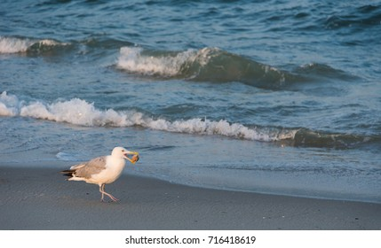 Seagull with Clam Shell at the Beach