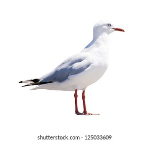 Seagull, classic seaside bird, isolated on white in profile