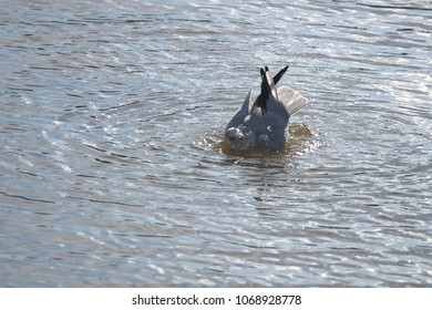 A seagull is cleaning its feathers in the sea with the head under water.