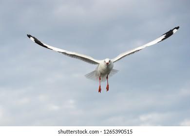 Seagull close up center