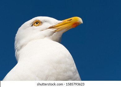 Seagull close up in Falmouth England with blue sky