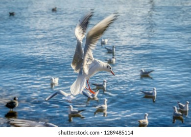 Seagull coming in to land on lake Zurich