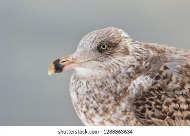 seagull  - common gull - close-up portrait