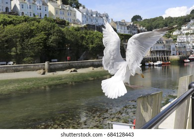 Seagull Cornwall 2