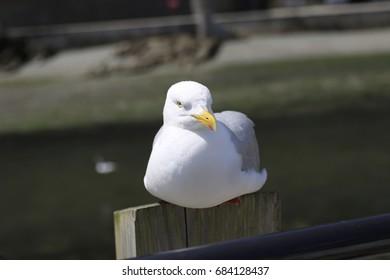 Seagull Cornwall 4