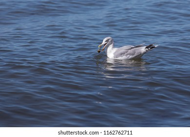 Seagull with crab in its beak (baltic sea, germany)