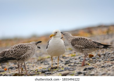 Seagull with cubs asking for food. Gull in wild nature. Gull with young gulls.  Photo from wild germany wild nature.